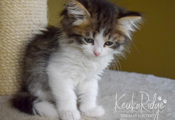 Keuka Ridge Faith - 7 Weeks Old
