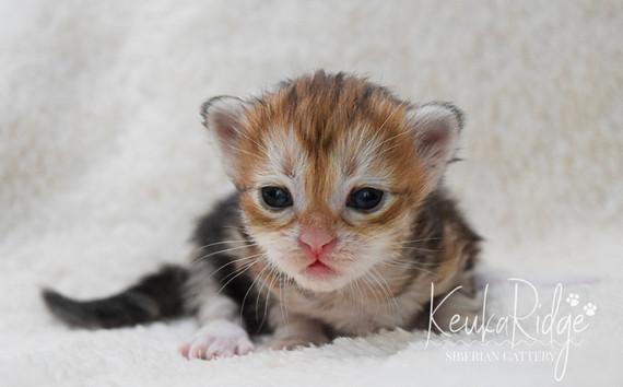 Keuka Ridge Glimmer - 2 1/2 Weeks Old