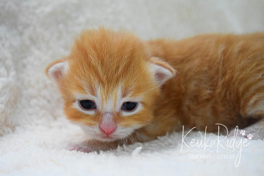 Keuka Ridge Gatsby - 2 1/2 Weeks Old
