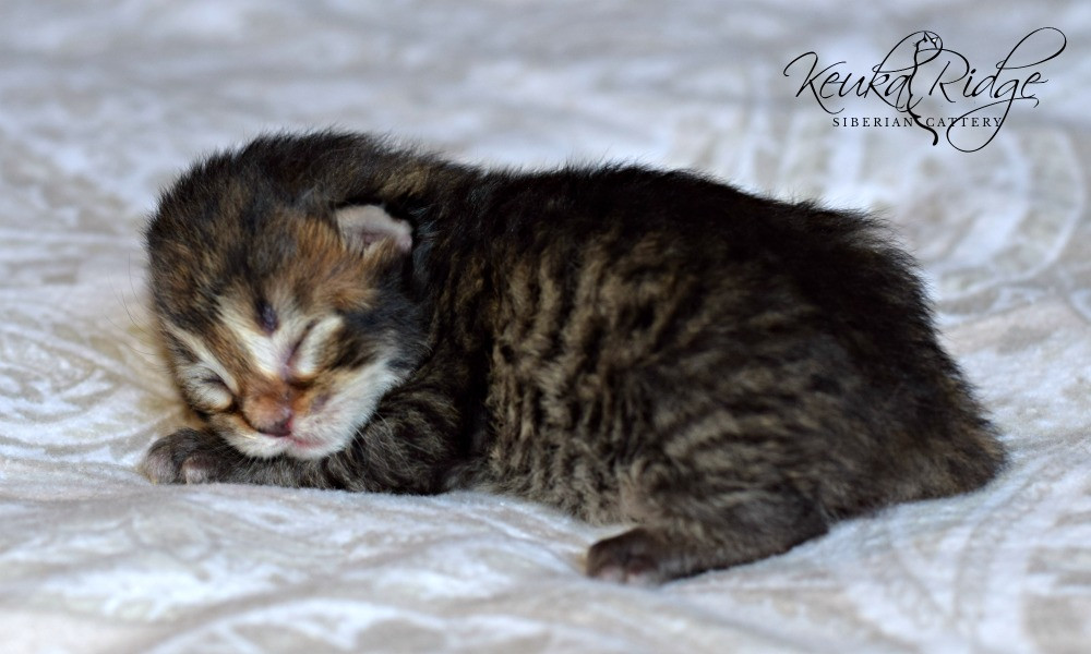 Keuka Ridge Barnaby Lionheart
