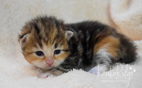 Keuka Ridge Galadriel - 2 1/2 Weeks Old