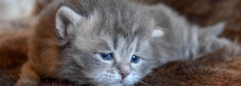 Keuka Ridge Dexter - 3 Weeks Old