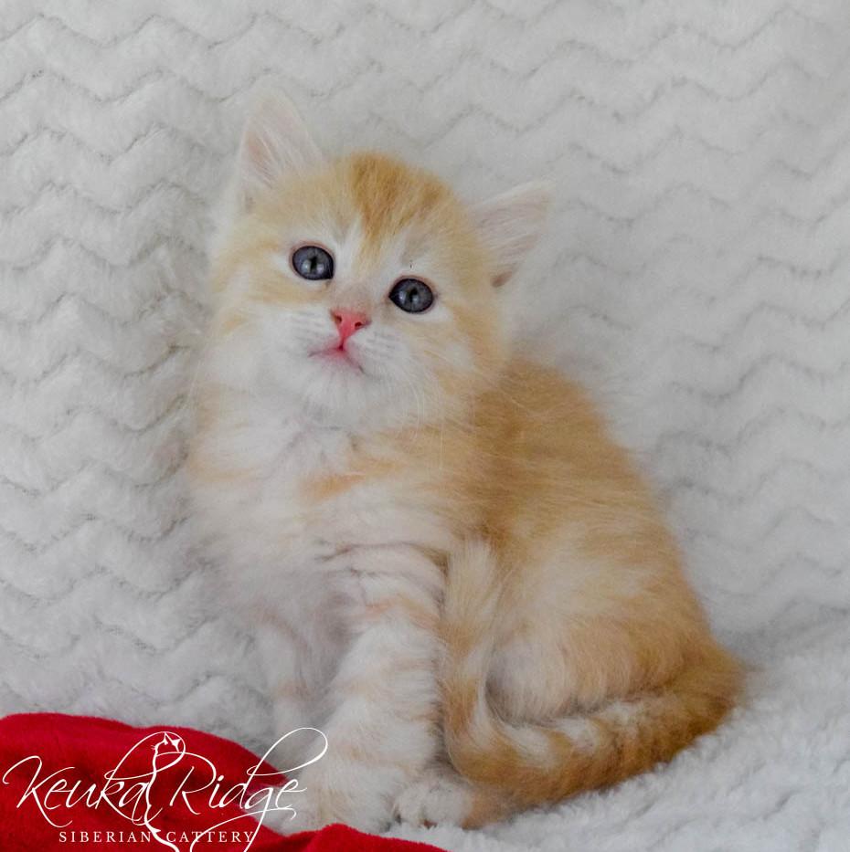 Keuka Ridge Core - 6 Weeks Old