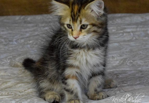 Keuka Ridge Cashmere - 11 Weeks Old