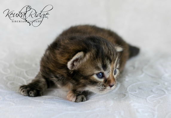 Keuka Ridge Bristol Firefly - 16 days old