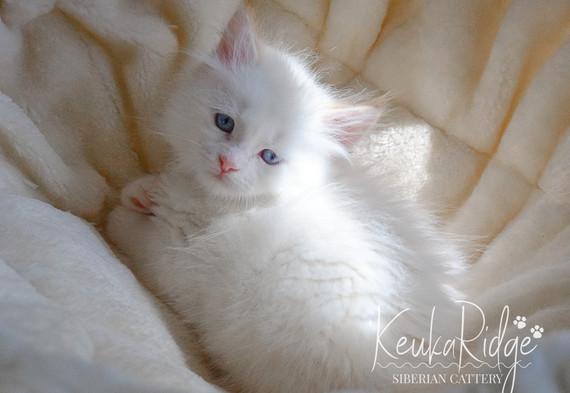 Keuka Ridge Finnigan - 7 Weeks Old