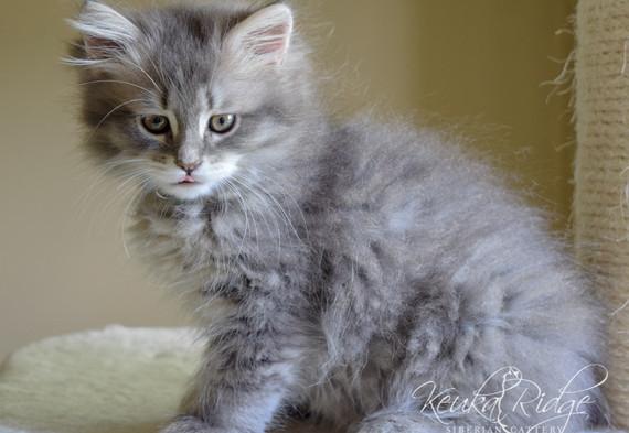 Keuka Ridge Dexter - 10 Weeks Old