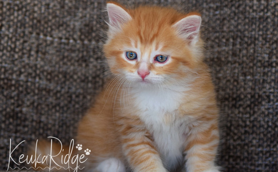 Keuka Ridge Gatsby - 7 Weeks Old