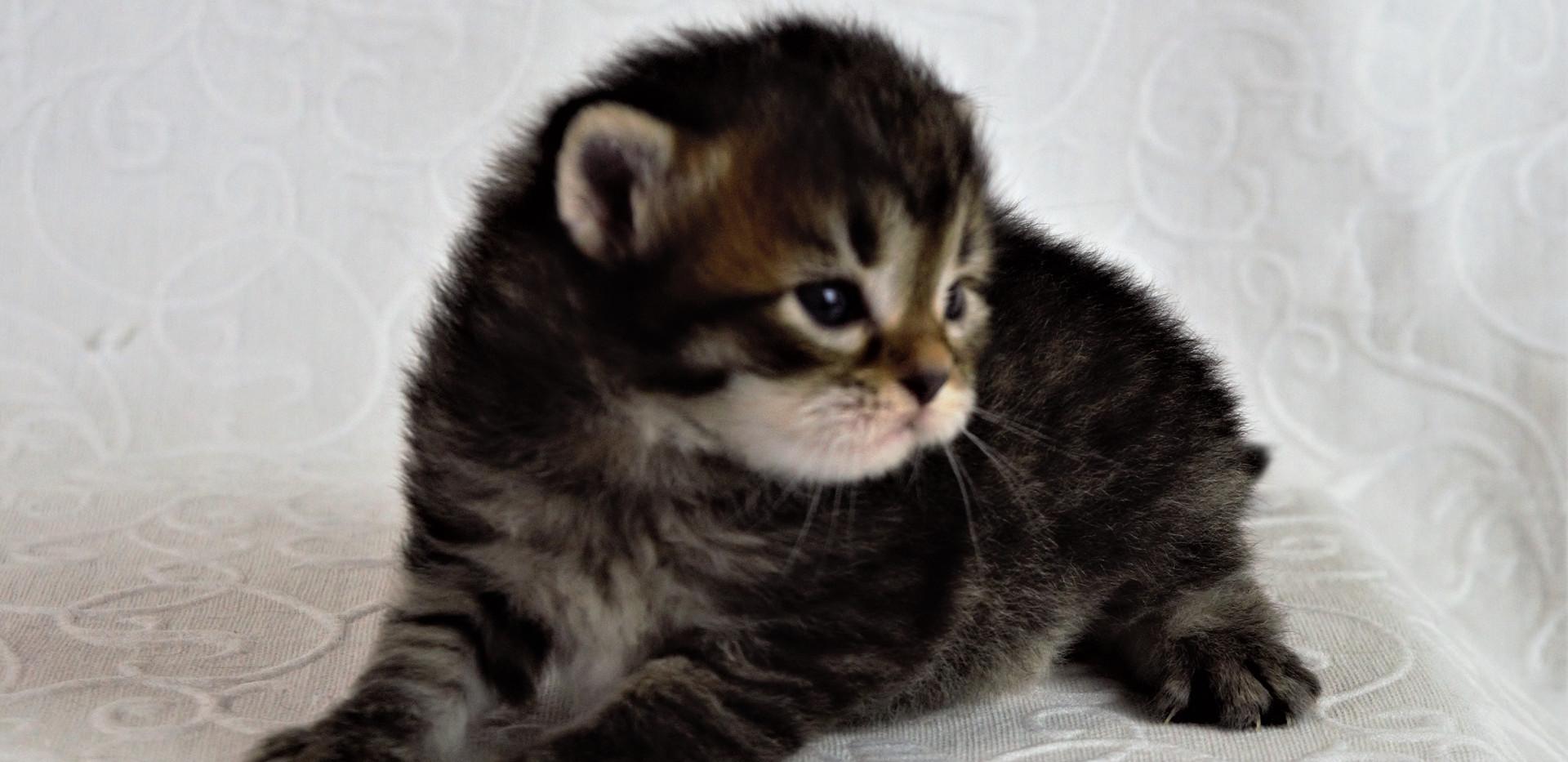 Keuka Ridge Barnaby Lionheart - 3 Weeks Old