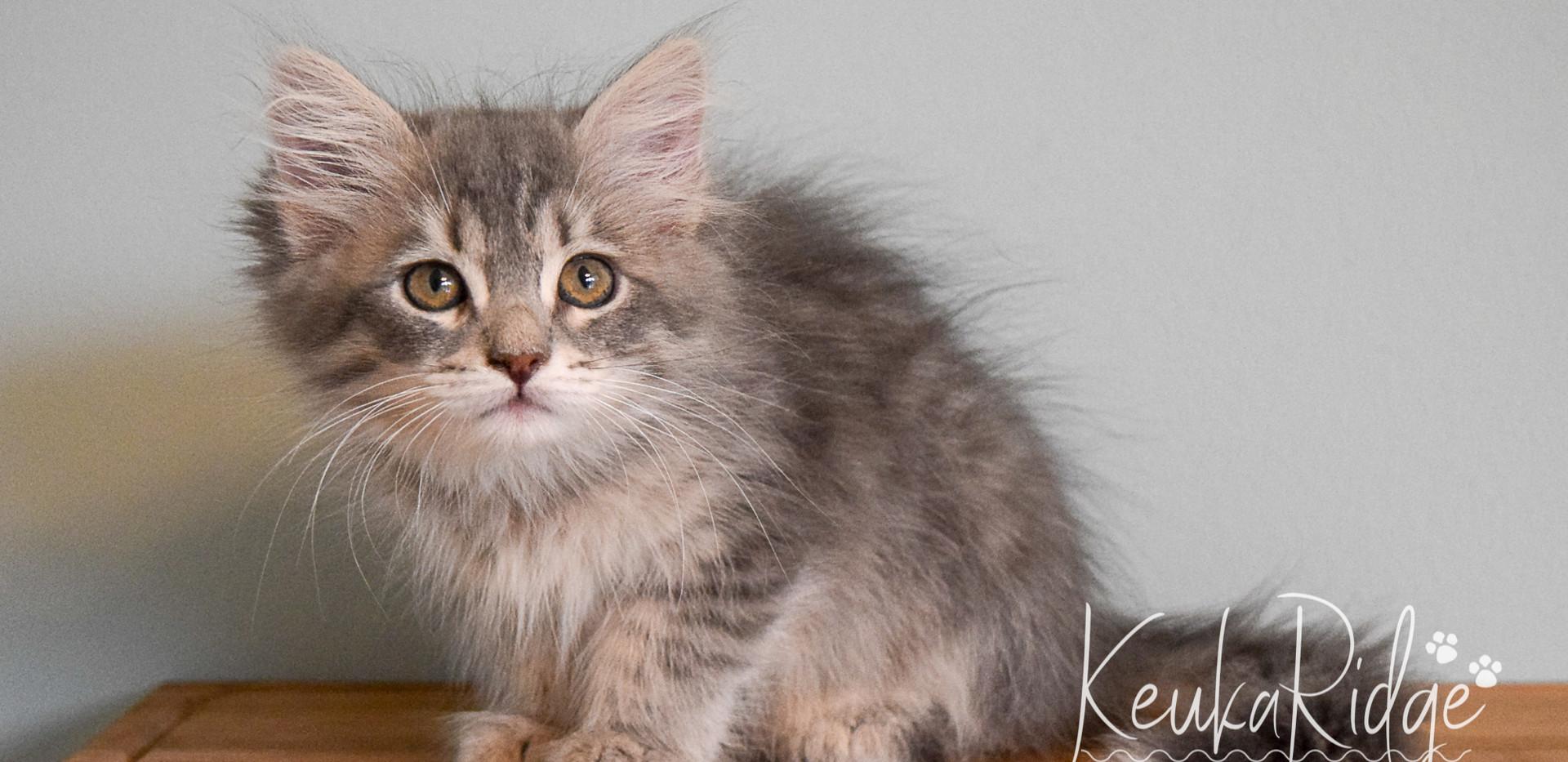 Keuka Ridge Finley - 11.5 Weeks Old