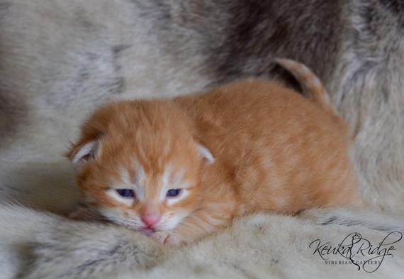 Keuka Ridge Elessar - 15 Days Old