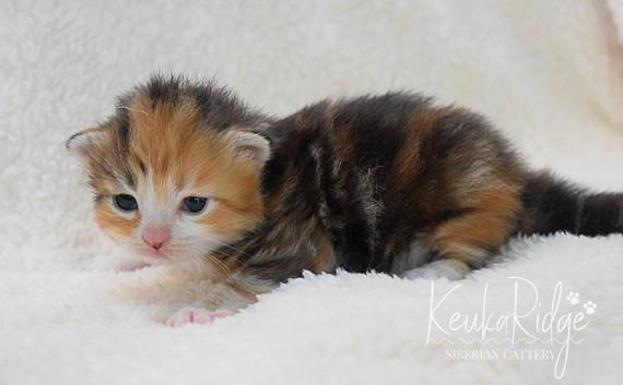 Keuka Ridge Guinevere - 2 1/2 Weeks Old