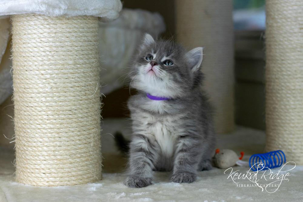 Keuka Ridge Blue Reign - 6 weeks old