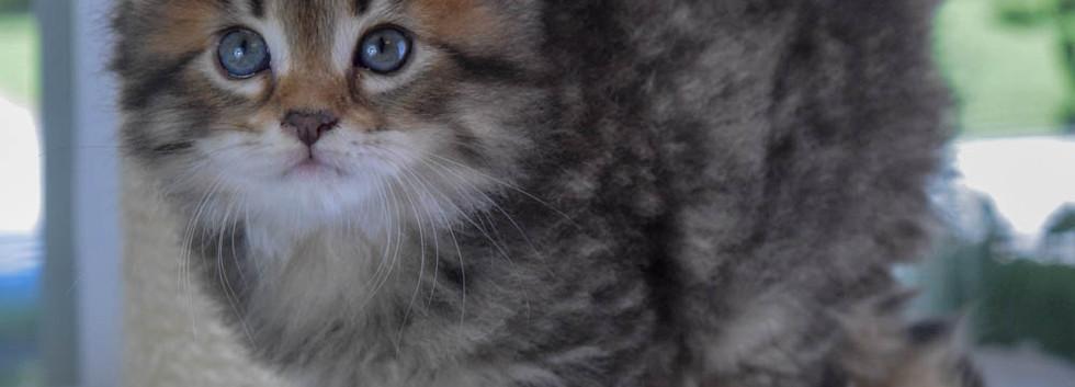 Keuka Ridge Barney Lionheart - 6 Weeks Old