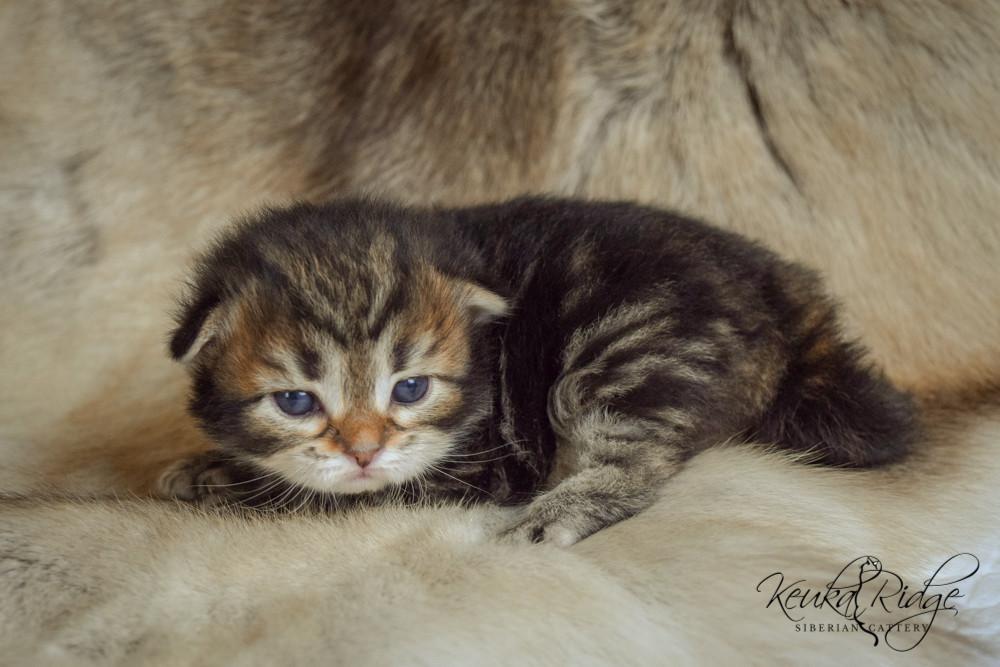 Keuka Ridge Eragon - 2 Weeks Old
