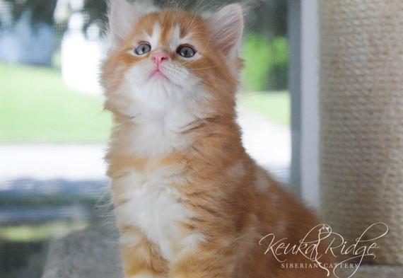 Keuka Ridge Bash Sparkeart - 6 Weeks Old