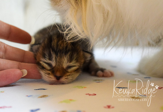 Keuka Ridge Lexxis - 5 days old