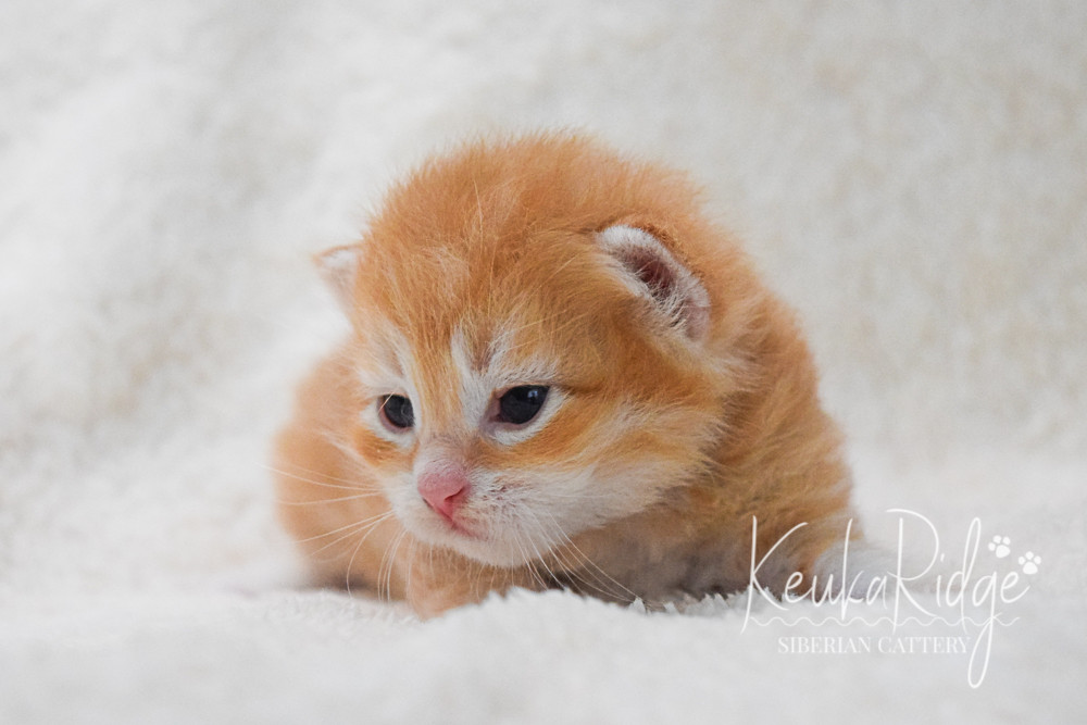 Keuka Ridge Gimli - 2 1/2 Weeks Old