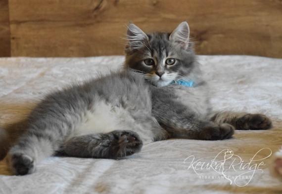 Keuka Ridge Blue River - 13 Weeks Old