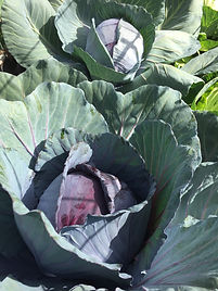1. CABBAGES 1.JPG
