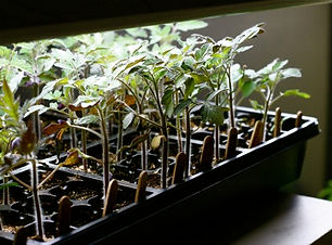tomatoes-under-the-grow-lights.jpg