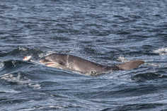 ^ CCP Image No. ^  Bottlenose Dolphin Tursiops Chanory Point, Fortrose