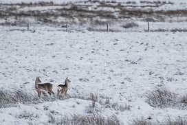 ^ CCP Image No. ^  Roe Deer Doe & Fawn Capreolus capreolus Caithness