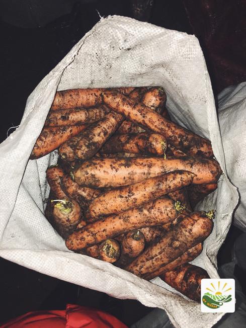 Морковь урожая 2017 года