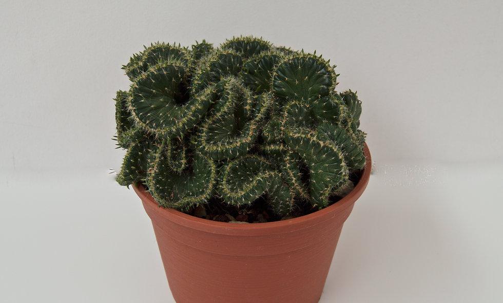 Opunthia Cylindrica Crestata