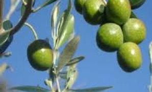 Olivo cultivar Giarraffa