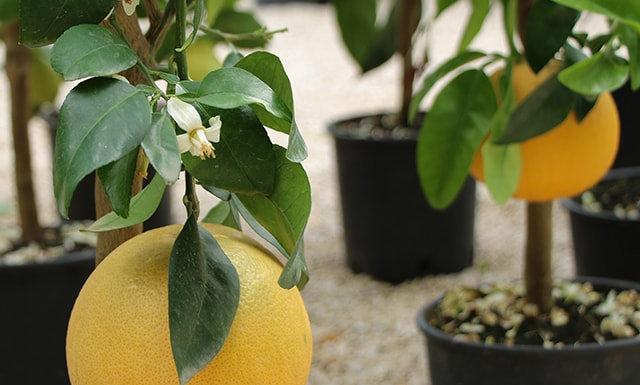 Citrus Paradisi (pompelmo)