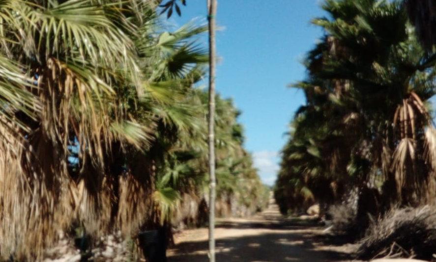 Ficus bellingeri