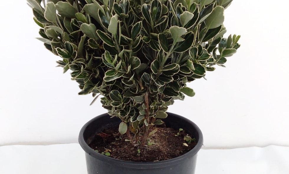 Euonymus japonicum