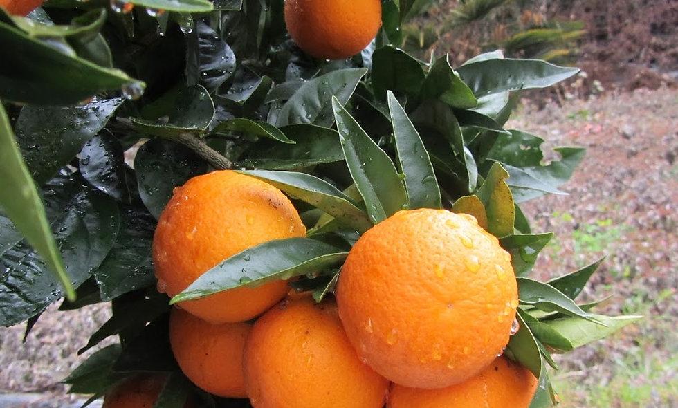Citrus sinensis (arancio)