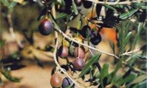 Olivo cultivar Cerasuola