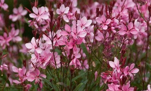 Gaura (rosa)