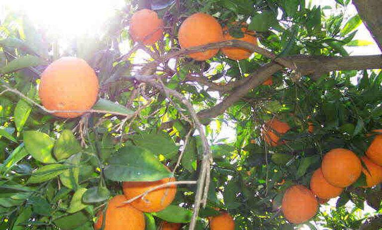 Arancio brasiliano