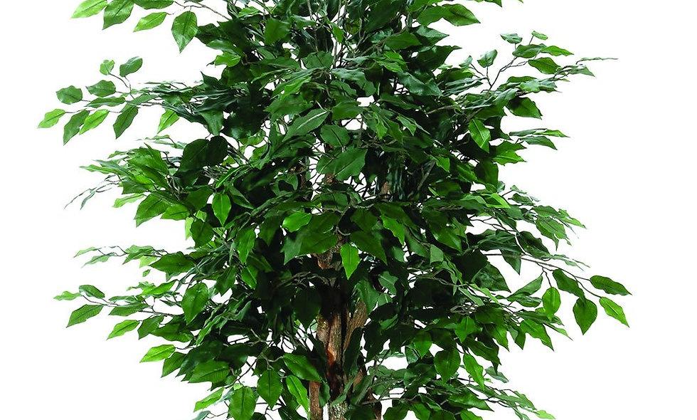 Ficus Nitida (cespuglio)