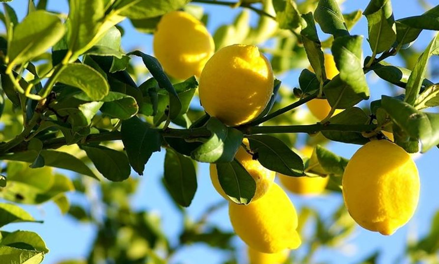 Citrus limon (limone lunario)