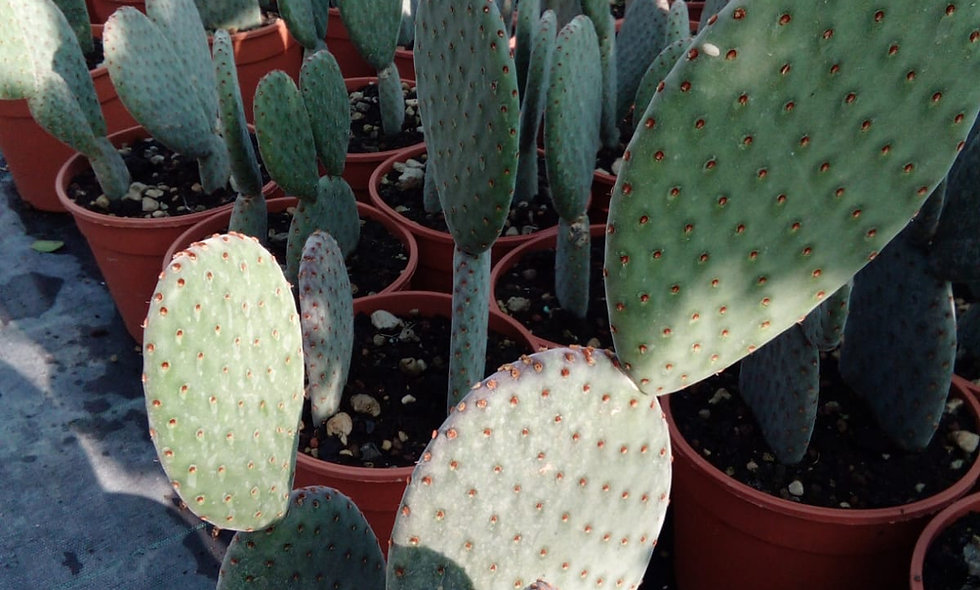 Opuntia macrocalyx