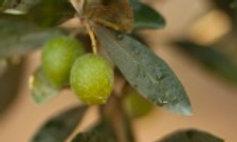 Olivo cultivar Nocellara del Belice
