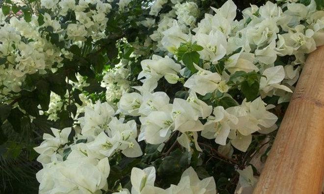 Bouganvillea bianca