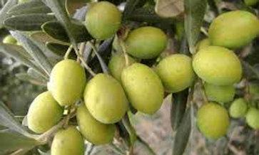 Olivo cultivar Biancolilla