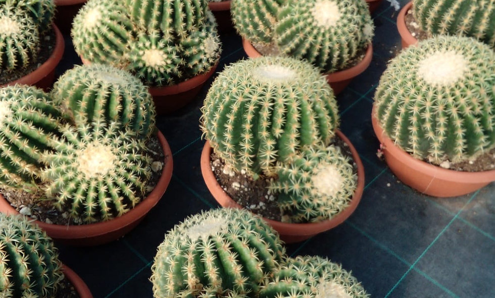 Echinocactus grusonii brevispina a gruppo