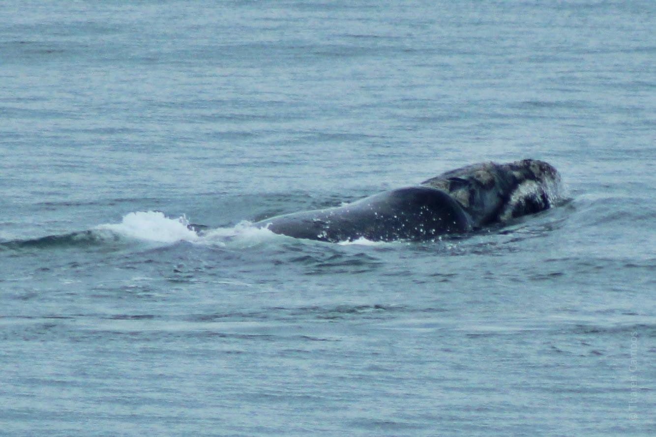Baleia 1