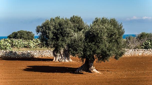 03 Olive Oil Farm Masseria Brancati.jpg