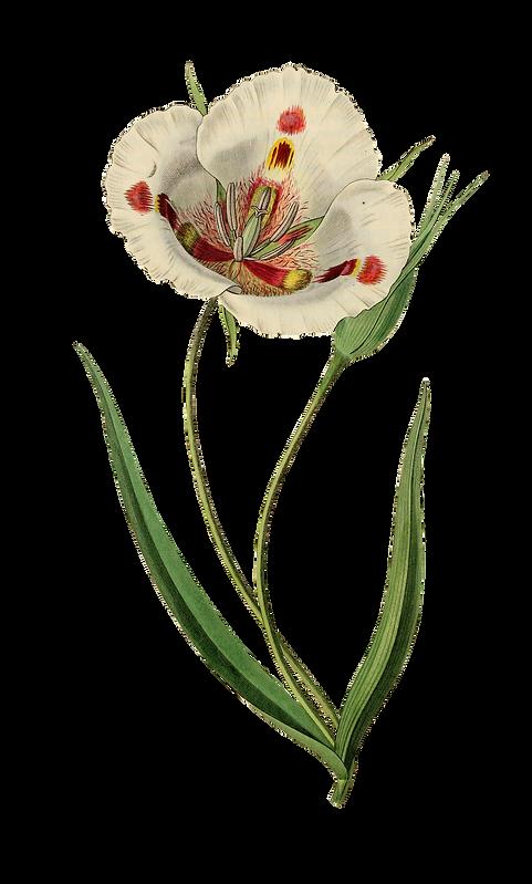 tulip-1952016_1920.png