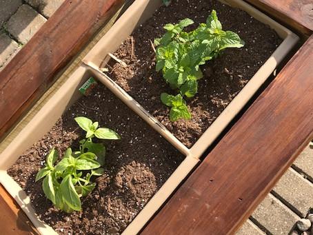 Mint for mojitos, cilantro for salsa...hello summer!