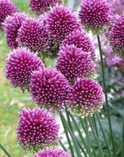 purple onion flower allium small