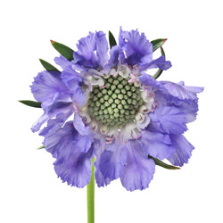 scabiosa purple